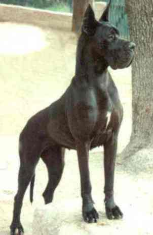 Hiroshima De La Benjamine Dogue Allemand